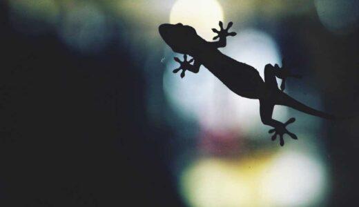ヤモリが夜でも色を見分けられるメカニズムが解明される|論文掲載